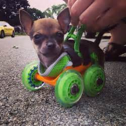 wheel chairs for dogs turbo roo the two legged chihuahua gets 3d printed wheelchair
