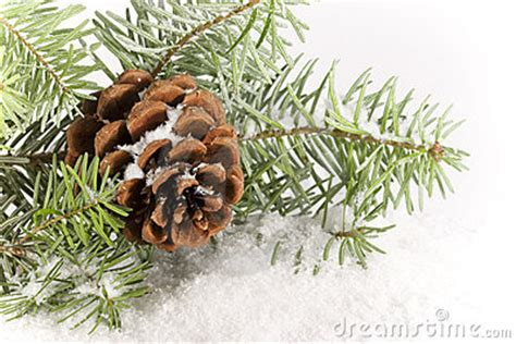 evergreen branch  cone royalty  stock images image
