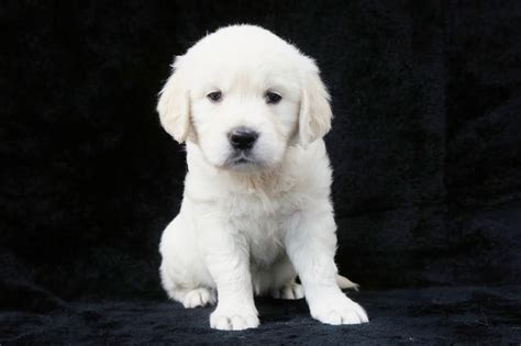 golden retriever nj golden retriever puppy breeders nj dogs our friends photo