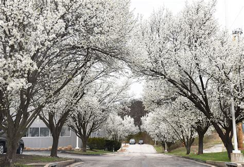 mdc discourages invasive ornamental pear tree