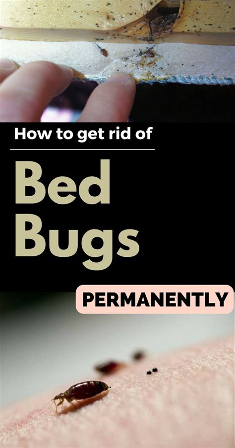 how to get rid of bed bugs home remedy 1000 images about home pest control on pinterest