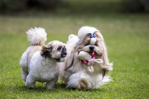 how often should you wash a shih tzu shih tzu grooming styles