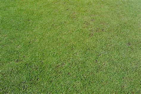 wintergreen couch seed turf varieties complete turf suppliescomplete turf supplies
