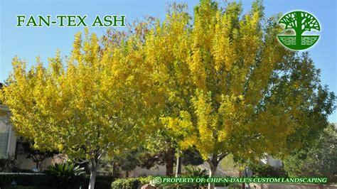 fan tex ash tree fan tex ash trees pinterest