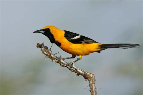 picture of a oriole bird hooded oriole audubon field guide