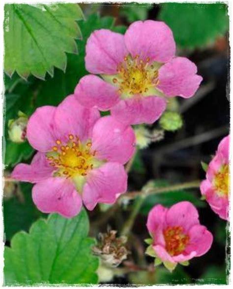 fiore rosa fragola rifiorente tutu fiore rosa vendita piante