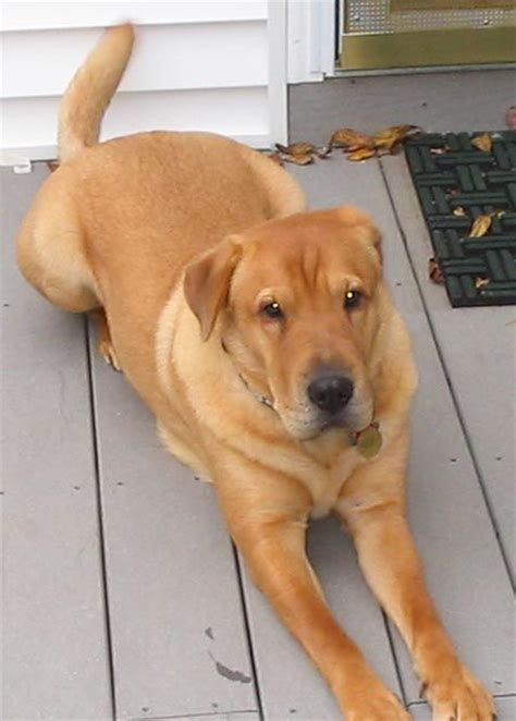 shar pei and golden retriever mix golden retriever rescue