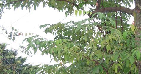 Daun Gergaji Besi Pokok Buah Buahan Belimbing Besi