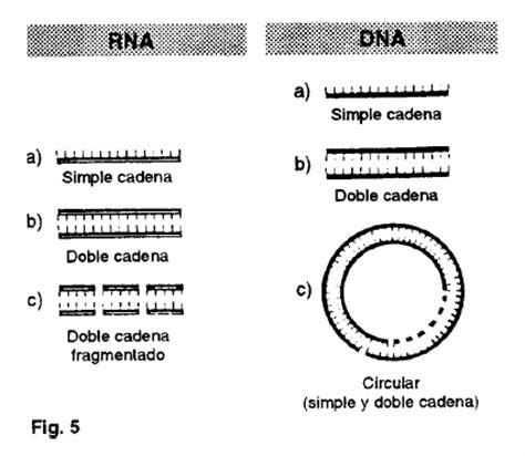 cadena de adn positiva y negativa g 233 nesis pinto biolog 237 a molecular y celular virus