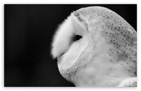 black and white owl wallpaper barn owl black and white 4k hd desktop wallpaper for 4k