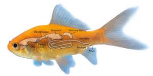Fish S You Wondered How Your Fish Digests It S Food