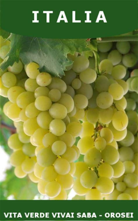 vivai uva da tavola barbatelle uva da tavola vita verde vivai web market