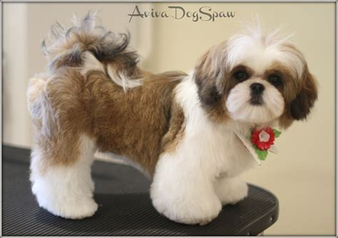 shih tzu clipping styles pomeranian shih tzu mix hair cuts hairstylegalleries