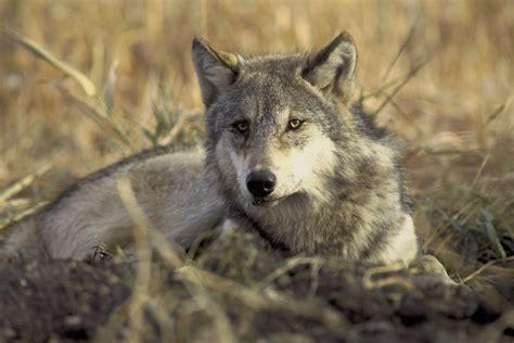 On Wolf wolf identification western wildlife outreach