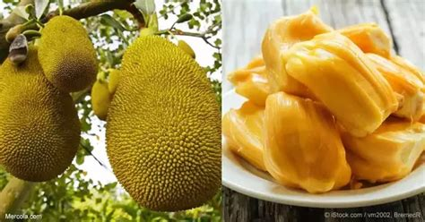 7 Melody Jumbo Size Langka what is the difference between durian and jackfruit quora