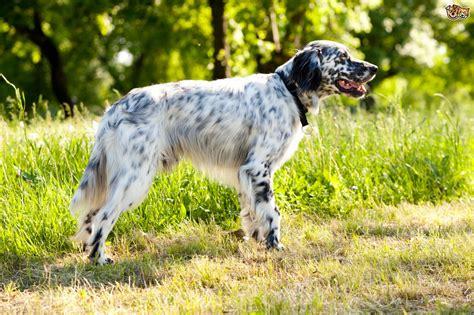 setter dog english setter dog breed information buying advice