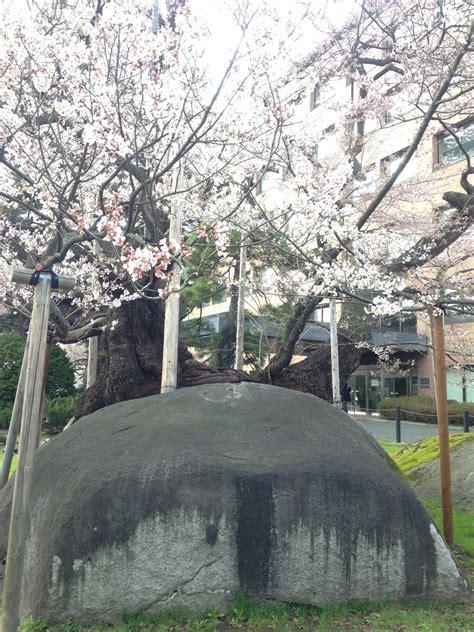 ishiwari zakura visit the rock splitting cherry tree voyapon