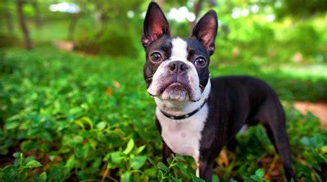 ranking 16 razas de perro m 225 s peque 241 as y adorables mundo
