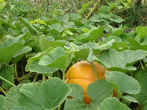 planting pumpkins for how to grow pumpkins pumpkin seeds growing pumpkins