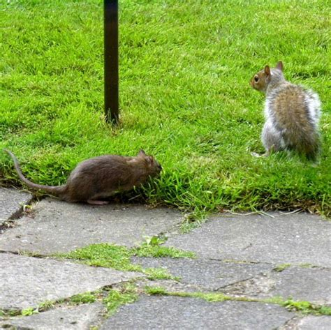 brown rat and grey squirrel