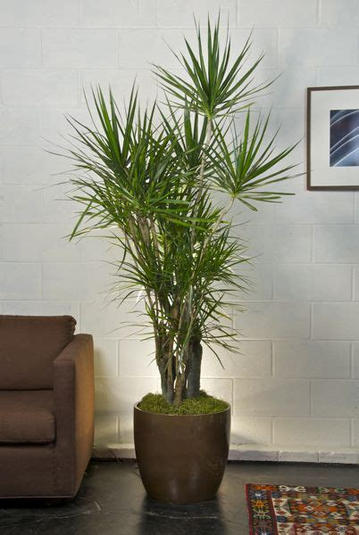 indoor plant pot houston s online indoor plant pot store marginata