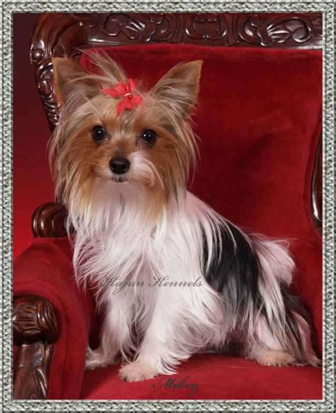parti colored yorkies for sale parti yorkies parti yorkie breeder parti color yorkies for sale