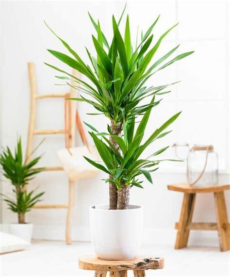 yucca palme für draußen giftige zimmerpflanzen 20 giftpflanzen die sie kennen