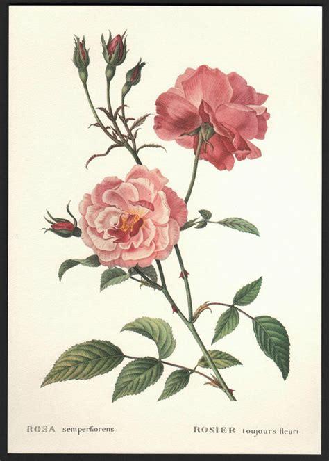botanical flower carnation italian 11 vintage china botanical flower print rosa semperflorens florence italy ebay