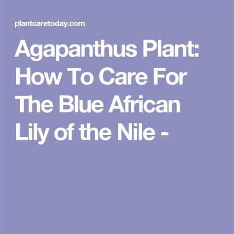 the 25 best agapanthus care ideas on pinterest agapanthus in pots agapanthus garden and