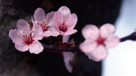 prewalker baby pink flower baby pink flowers wallpaper 229687