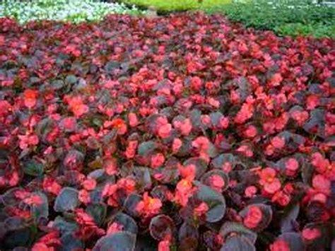 Фото бегоний с декоративными листьями