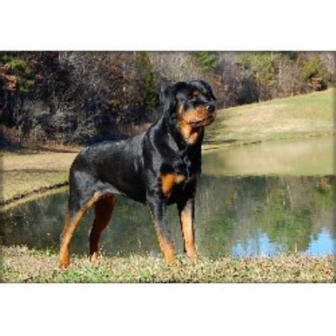 nc rottweiler rescue rottweiler breeders in carolina freedoglistings