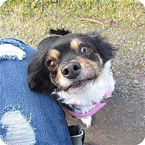 pomeranian rescue washington state seattle c o kingston 98346 washington state wa papillon pomeranian mix meet