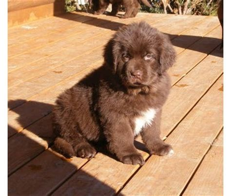 brown newfoundland puppies for sale newfoundland puppies for sale from reputable breeders autos post