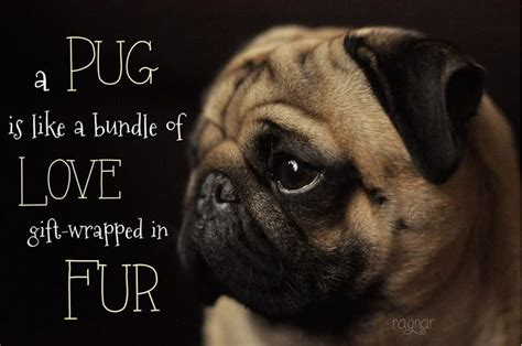 pug things pug wallpapers wallpapersafari