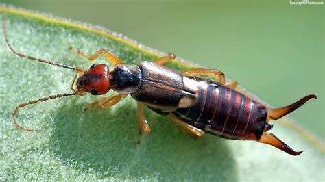 Earwig Infestation Picture And Images