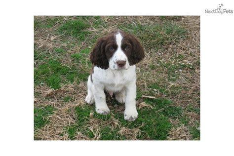 bench english springer spaniel puppies for sale sable tri color springer spaniel dog breeds picture