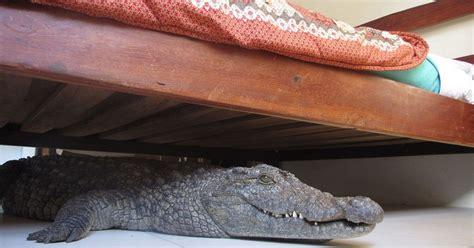 alligator bedding crocodile hides under man s bed for eight hours former