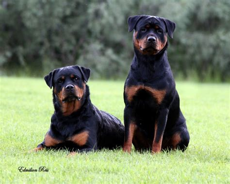 rottweiler bloat 10 breeds that explain why you need pet insurance barkforce