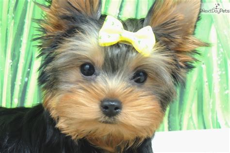 yorkie breeders in illinois yorkie dogs for sale chicago il and forex 3 ducks system