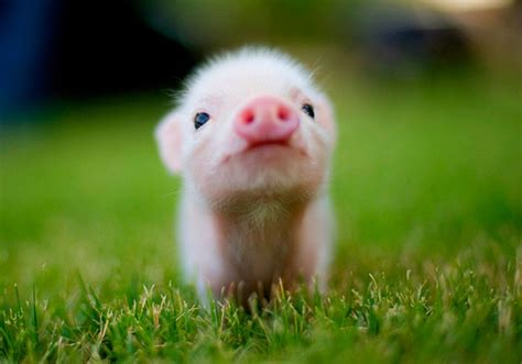 cute baby piggy pictures   images  facebook tumblr pinterest  twitter