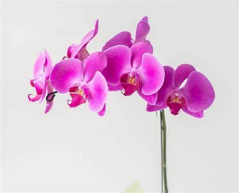 cura orchidee in vaso orchidee phalaenopsis cura orchidea coltivare orchidee
