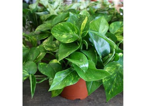 piante per appartamento piante da appartamento piante appartamento tipologie
