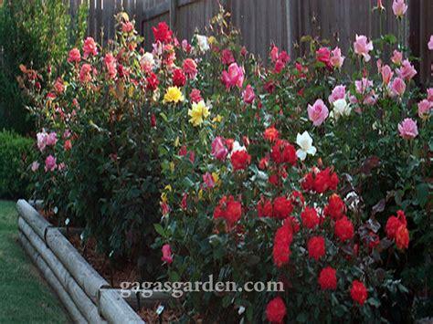 backyard rose gardens the sensual rose garden experience gaga s garden