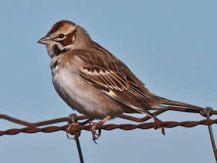 lark sparrow identification all about birds cornell