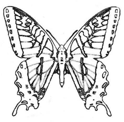 butterfly coloring pages dltk real butterfly coloring pages coloring page art