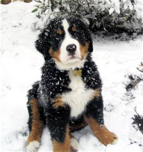 bernese mountain puppies for adoption bernese mountain rescue