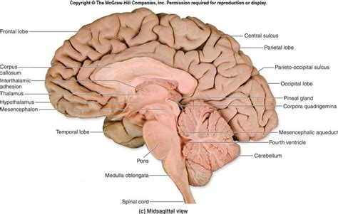 frontal section of brain human brain cross section midsagittal view cerebrum