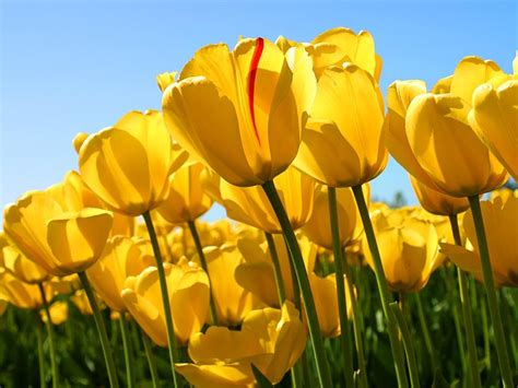 Oregon Gardens Resort by Skagit Valley Tulip Festival Tulips Festival Yellow