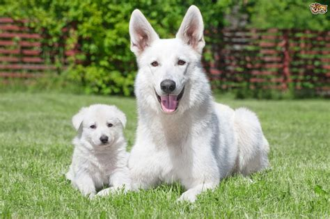 white swiss shepherd puppies white swiss shepherd breed information buying advice photos and facts pets4homes